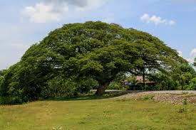 pohon trembesi untuk bahan baku furniture